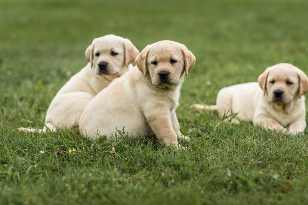LabPuppies