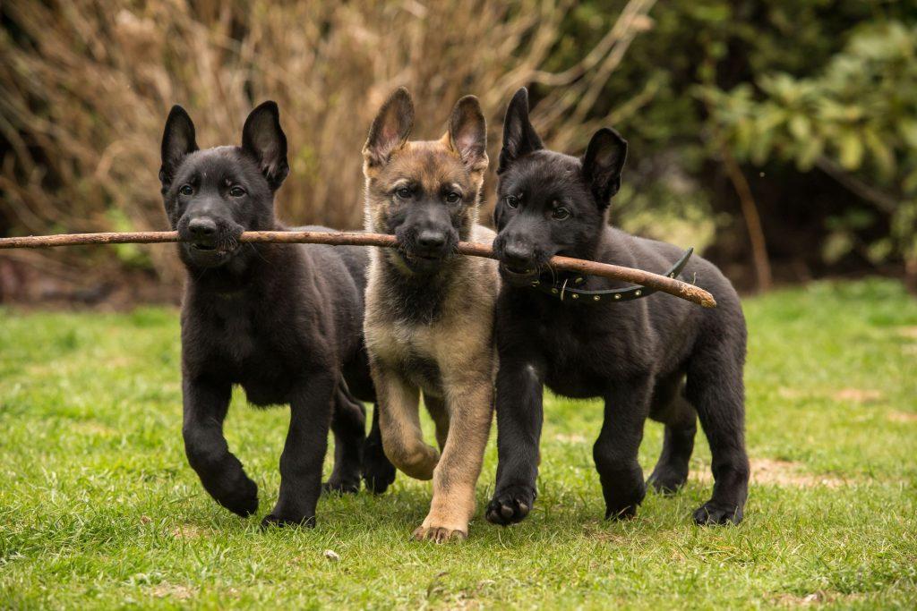 ShepherdPuppies